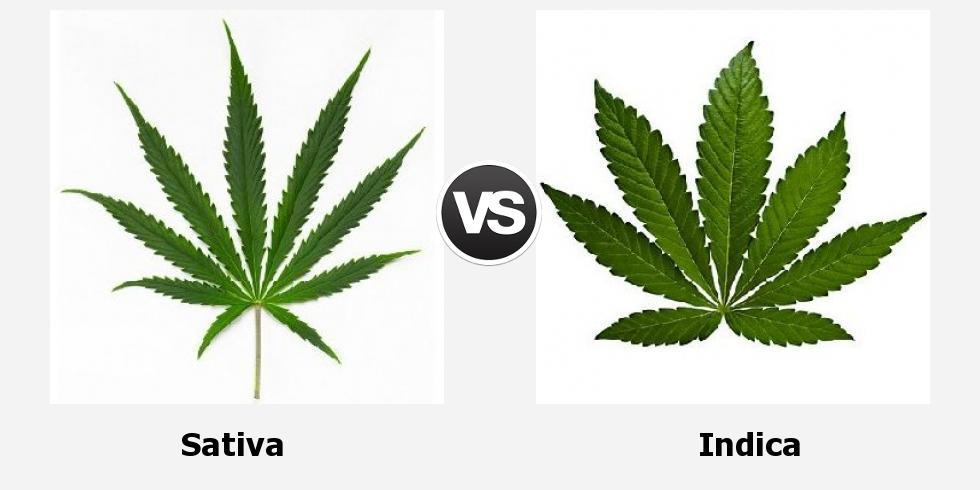 Марихуана отличается от конопли чем давление марихуана артериальное и
